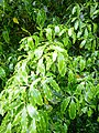 Lemonwood leaves.jpg