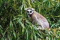 Lemur (36614911365).jpg