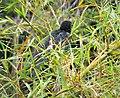 Lesser Black Coucal. Centropus bernsteini (48814736703) (cropped).jpg