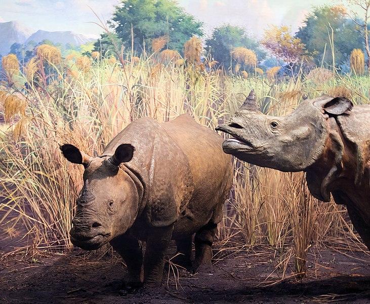 Fichier:Lesser One Horned Rhinoceros Rhinoceros Sondaicus (53549614).jpeg