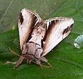 Lesser Swallow Prominent. Pheosia gnoma. (5622123800).jpg