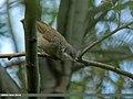 Lesser Whitethroat (Sylvia curruca) (15709977427).jpg