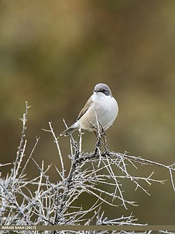 Lesser Whitethroat (Sylvia curruca) (27859478189).jpg