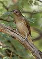 Lesser honeyguide, Indicator minor, at Pilanesberg National Park, South Africa (15809562609).jpg
