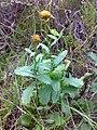 Leucanthemum vulgare 08.jpg