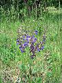 Leutratal-Salvia-pratensis-2413.jpg