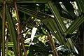 Licuala spinosa 7zz.jpg