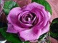 Lila farbene Rosenblüte.JPG