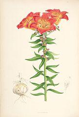 Ľalia cibuľkonosná (Lilium bulbiferum)