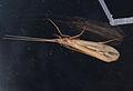 Limnephilus elegans.jpg