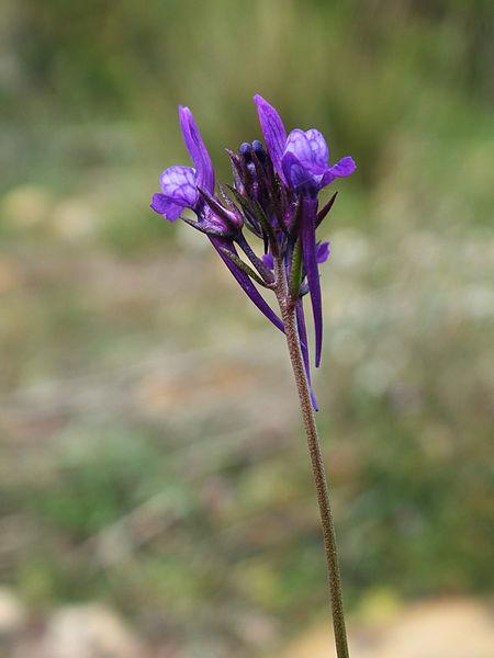 Linaria pelisseriana inflorescence, Crau plain (France)