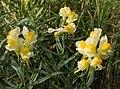 Linaria vulgaris (misty).jpg