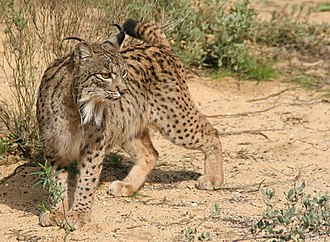 Province of Cádiz - Iberian lynx