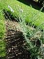 Linum perenne 'Perennial flax' (Linaceae) plant.JPG