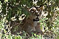 Lion, Ruaha National Park (3) (28995150676).jpg