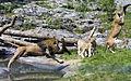 Lion jump (5345647450).jpg