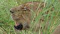 Lioness (Panthera leo) (6025684784).jpg