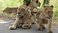 Lions (Panthera leo) (6025171933).jpg