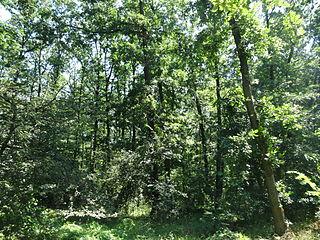 Lipovička šuma