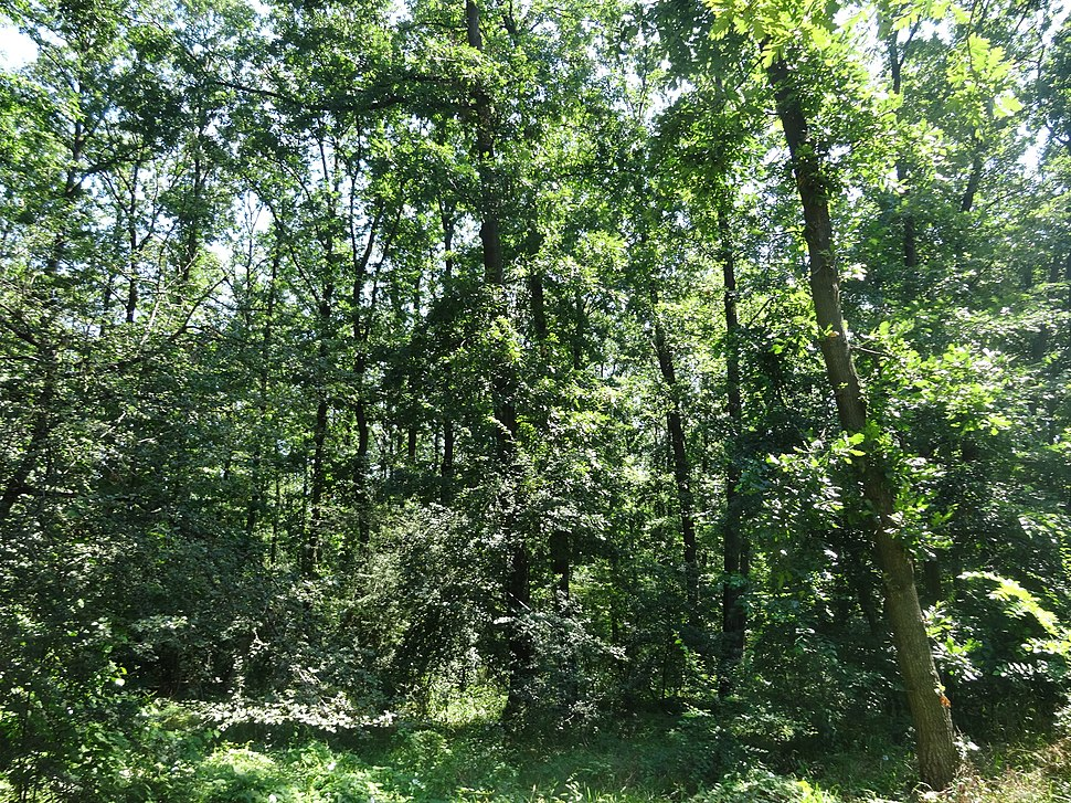 Lipovička šuma, Šuma, 11