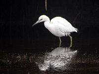 Little Blue Heron - winter plumage.jpg
