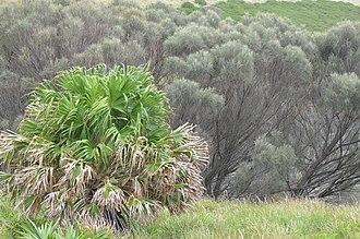 Livistona australis - Image: Livistona australis 8610964819 00d 8e 2c 36c o