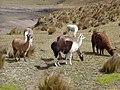 Llamas at Cotopaxi National Park.jpg