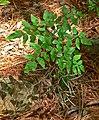 Llavea cordifolia 1.jpg