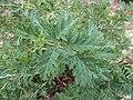 Lomatia tinctoria (leaves).JPG