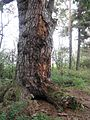 Lomská borovice kmen.jpg