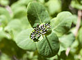 Lonicera etrusca - Etruscan honeysuckle - Dokuzdon 03.jpg