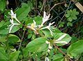 Lonicera japonica2.jpg
