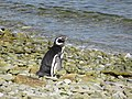 Looking out to see Magellenic Penguin Falkland Islands.jpg