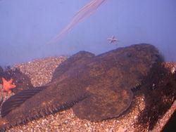 definition of goosefish