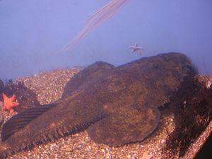 Goosefish - American angler (Lophius americanus) at the New England Aquarium