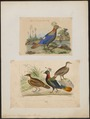 Lophophorus impeyanus - 1700-1880 - Print - Iconographia Zoologica - Special Collections University of Amsterdam - UBA01 IZ16900225.tif