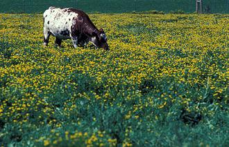 Lotus (genus) - Pasture with Lotus corniculatus (common bird's-foot trefoil, birds-foot deervetch)