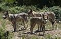 Loups siberie.jpg