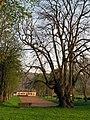 Lucheux arbre des épousailles 1.jpg