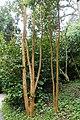 Luma apiculata - Trebah Garden - Cornwall, England - DSC01672.jpg