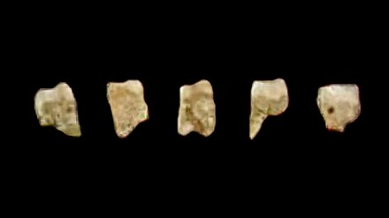 Five of the seven known fossil teeth of Homo luzonensis found in Callao Cave, the Philippines. LuzonensisMolars.jpg