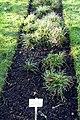 Luzula luzuloides - Botanischer Garten Braunschweig - Braunschweig, Germany - DSC04316.JPG
