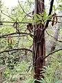 Lyonothamnus floribundus ssp. asplenifolius - University of California Botanical Garden - DSC09002.JPG