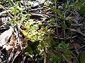 Lysimachia arvensis (5284451732).jpg