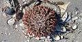 Lytechinus variegatus (variegated sea urchin) (Cayo Costa Island, Florida, USA) 1 (24082380880).jpg