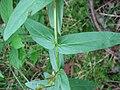 Lythrum salicaria blatt.jpg