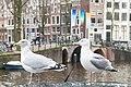 Möwen in Amsterdam (27890996749).jpg