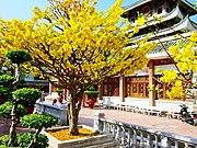 Một cây mai vàng.jpg