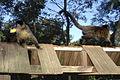 Macaco prego em Tibaji 260708 REFON 5.JPG