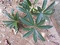 Madhuca longifolia-2-kalakkad-tirunelveli-India.jpg